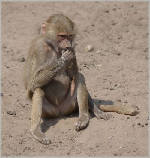 Monkeys, Baboons 05