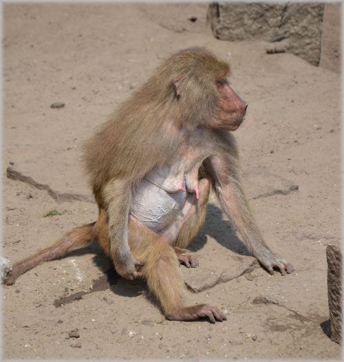 Monkeys, Baboons 06