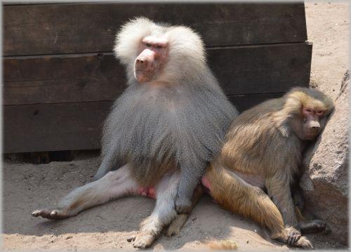 Monkeys, Baboons 07