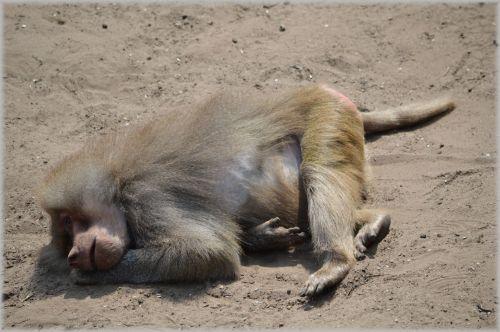 Monkeys, Baboons 09