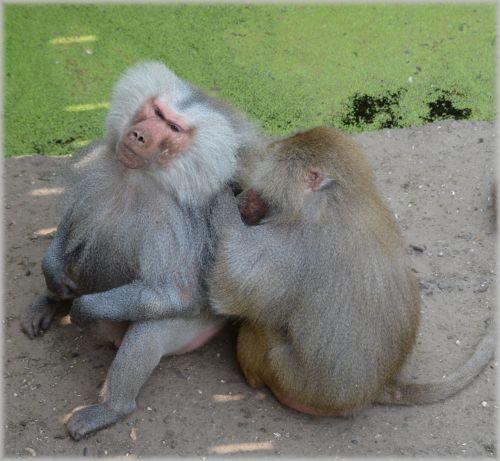 Monkeys, Baboons 10
