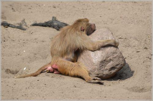 Monkeys, Baboons 12