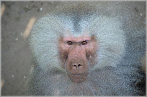 Monkeys, Baboons 13