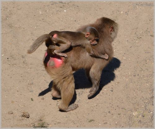 Monkeys, Baboons Set 2.02