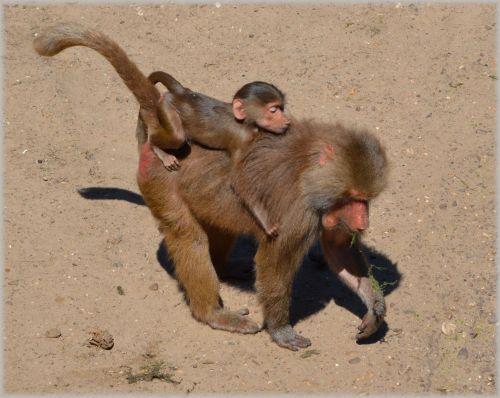 Monkeys, Baboons Set 2.03