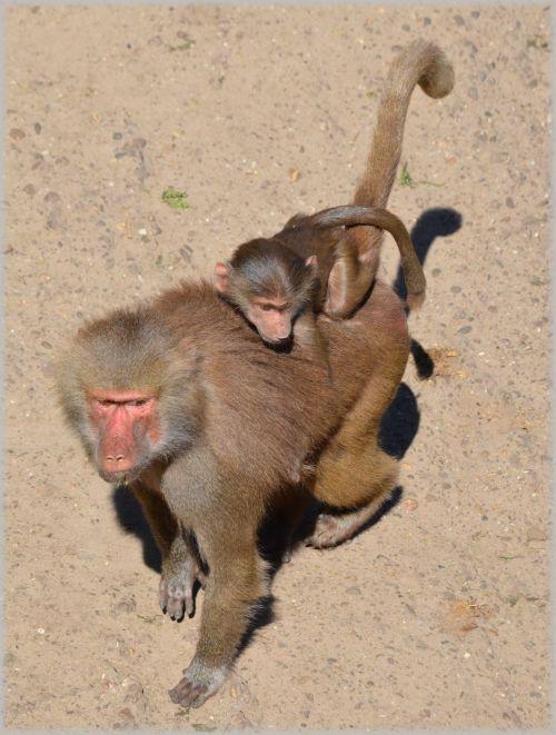 Monkeys, Baboons Set 2.05