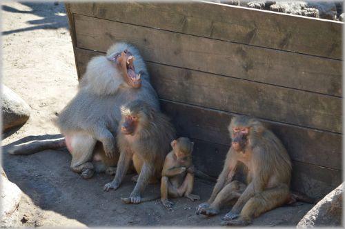 Monkeys, Baboons Set 2.06