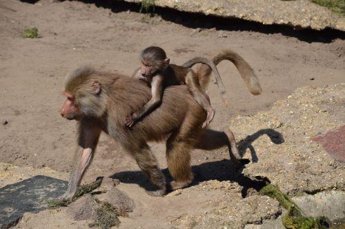 Monkeys, Baboons Set 2.11