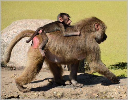 Monkeys, Baboons Set 2.13