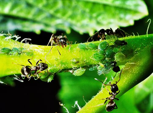aphids insects ants