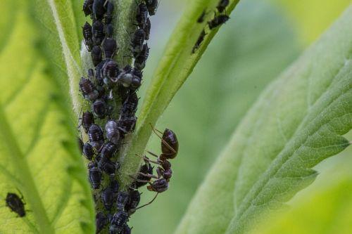 amarai,ant,utėlių,vabzdys,makro,aphid,vabzdžių užkrėtimo,makrofotografija
