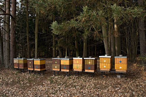apiary forest breeding of honey bees