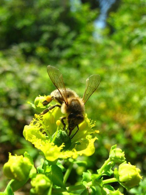 apis mellifera bee flower
