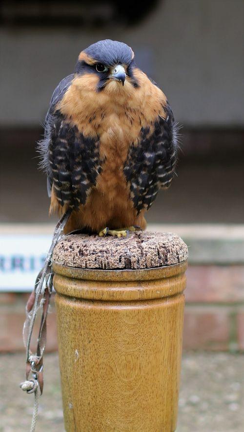 aplomado falcon predator avian