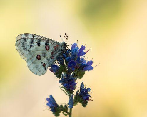 apollo butterfly apollofalter