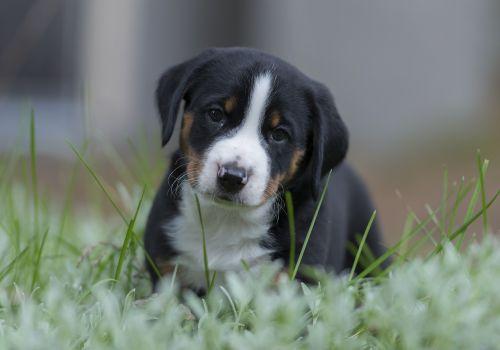 appenzell puppy dog