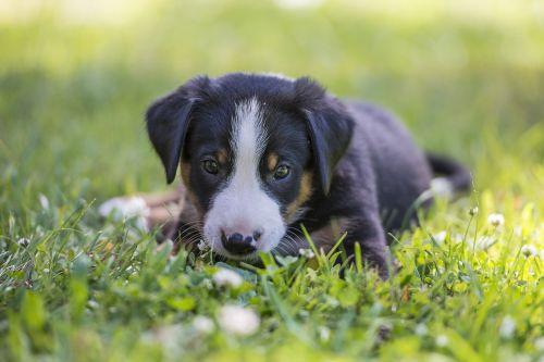 appenzell puppy summer