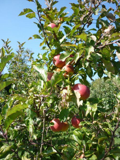 obuolys,vaisių sodas,sultys,vaisių medžiai,vaisiai,derlius,vaismedis