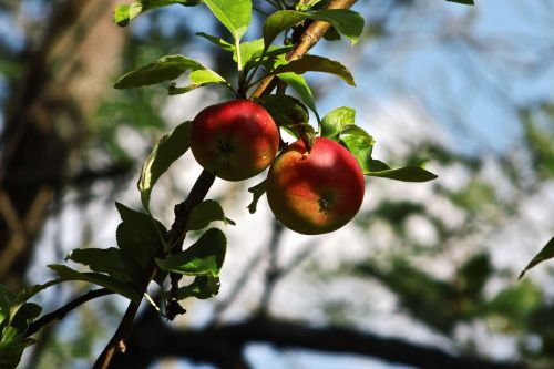 wild apple apple tree apple