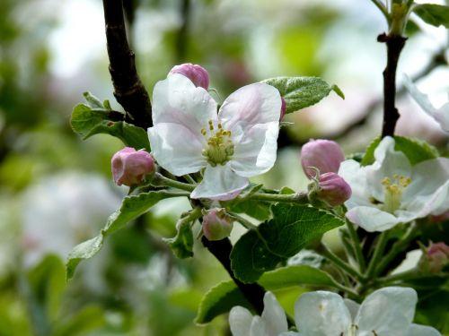 apple blossom bloom