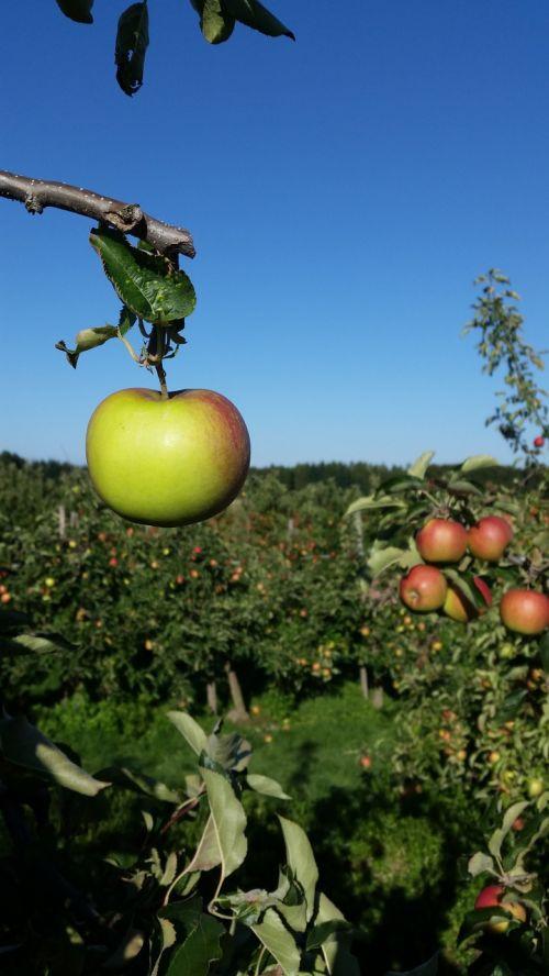 apple orchard fruit