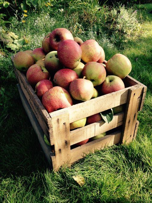 apple harvest box