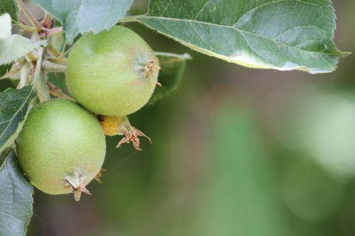 apple apple gear immature