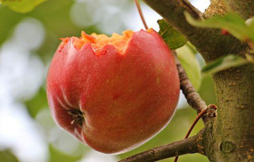 apple apple tree kernobstgewaechs