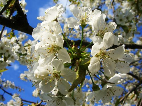 apple,blossom,bloom,tree,spring,fruit,apple blossom,nature,apple tree,leaves,close,garden,apple tree blossom,blossom,white,pollination,plant