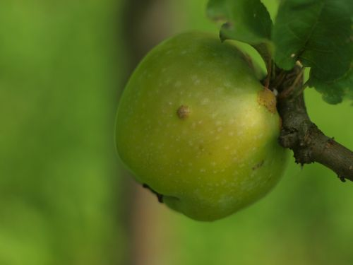apple apple on the branch green apple