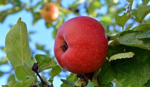 apple danziger kant apple fruit