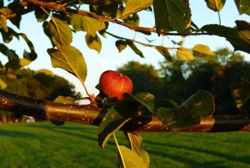 apple apple tree branch
