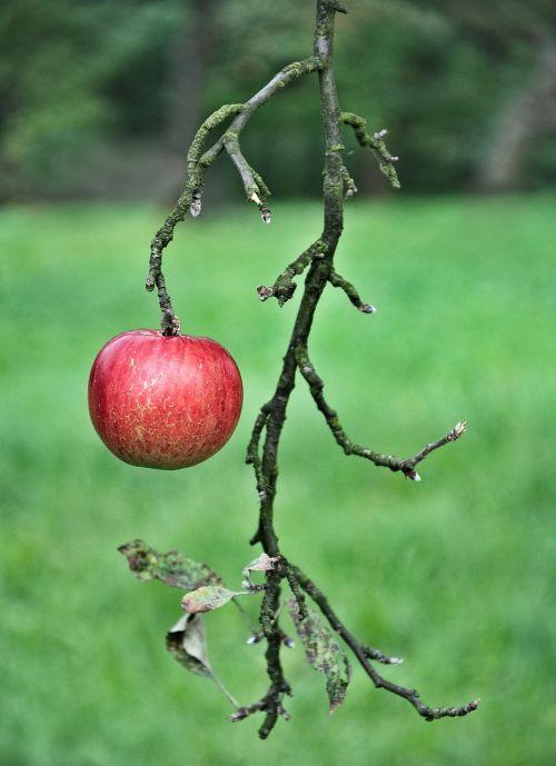 apple fruit eating