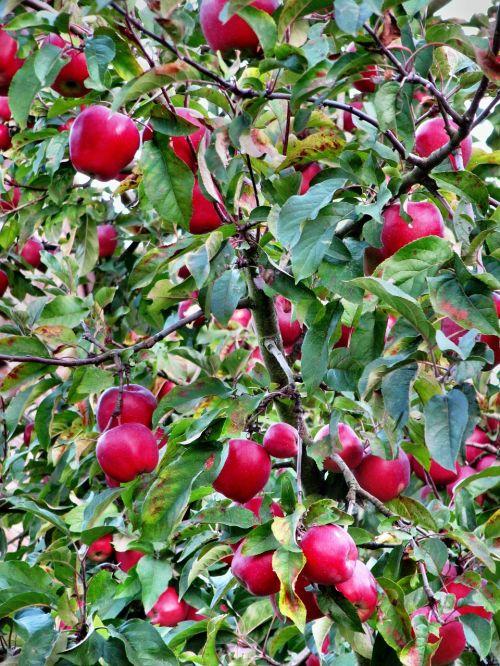 apple red autumn
