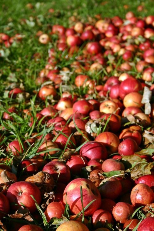 apple red windfall