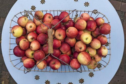 apple boskoop pome fruit