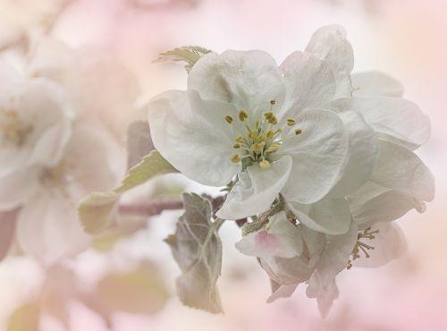 apple apple tree apple blossoms