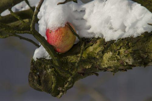 apple winter snow