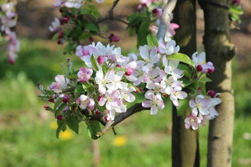 obuolys,žiedas,žydėti,pavasaris,gamta,Uždaryti,rožinis,sodas,žiedas,obuolių žiedas,žydintys medžiai