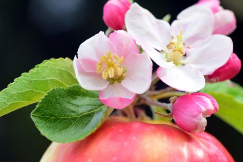 apple apple blossoms spring