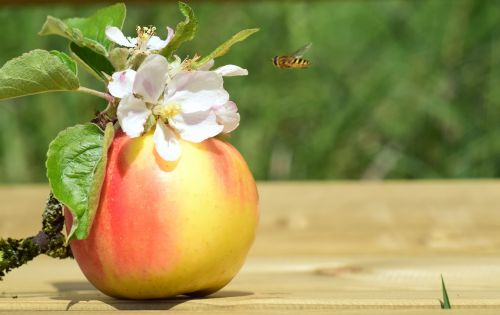 apple apple blossom spring