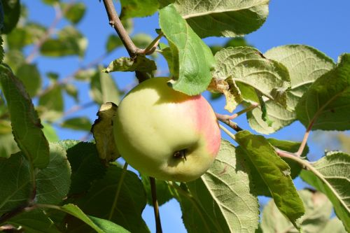 apple,autumn,garden,fruit,green,fruits,tree,apple tree,branches,fruit trees,natural,nature