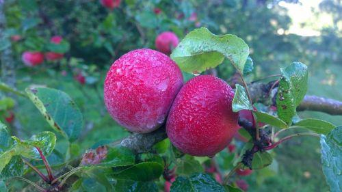 apple moist nature