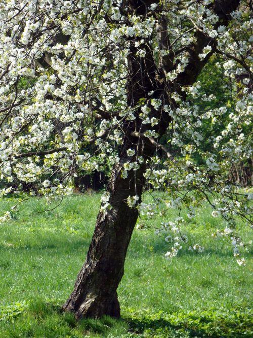 apple flowers blooms