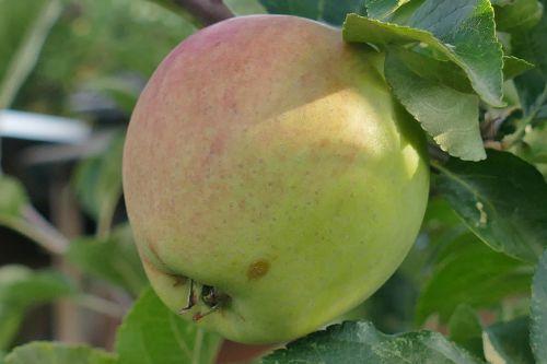 apple macro close