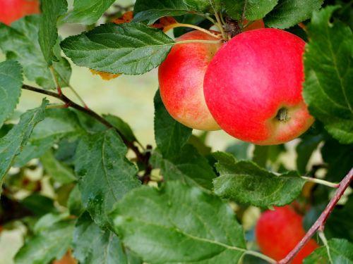 apple ripe red