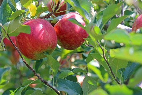 apple ringo red