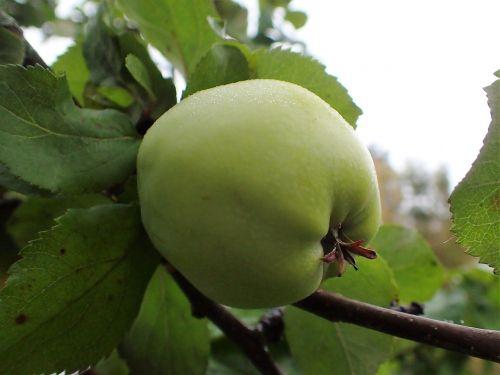 apple green mature