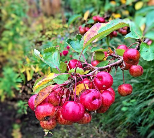apple zieraepfel wild apple tree