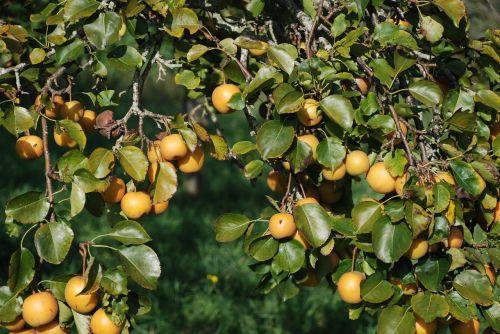 apple apples yellow